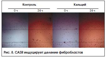 Рис. 8. CASR индуцирует деление фибробластов