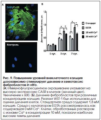 Рис. 9. Повышение уровней внеклеточного кальция дозозависимо стимулирует деление и хемотаксис фибробластов in vitro.