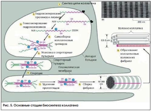 Рис. 5. Основные стадии биосинтеза коллагена