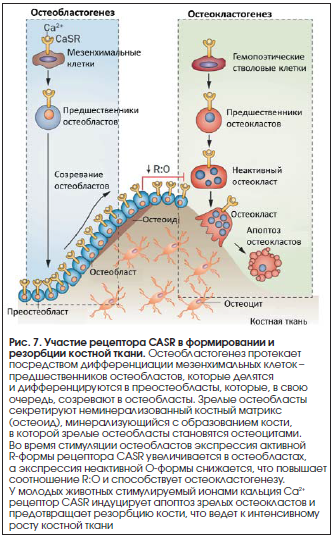 Рис. 7. Участие рецептора CASR в формировании и резорбции костной ткани.