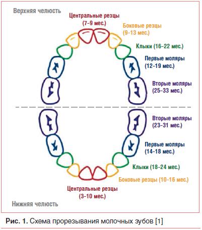 Рис. 1. Схема прорезывания молочных зубов