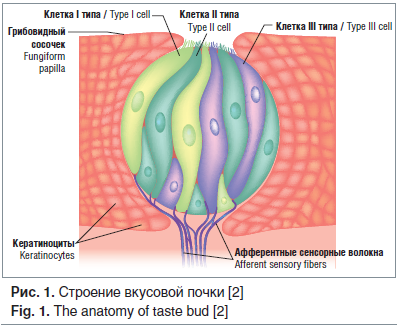 Рис. 1. Строение вкусовой почки [2] Fig. 1. The anatomy of taste bud [2]