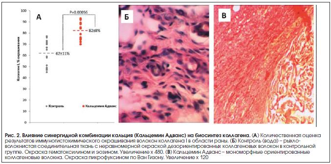 Рис. 2. Влияние синергидной комбинации кальция (Кальцемин Адванс) на биосинтез коллагена