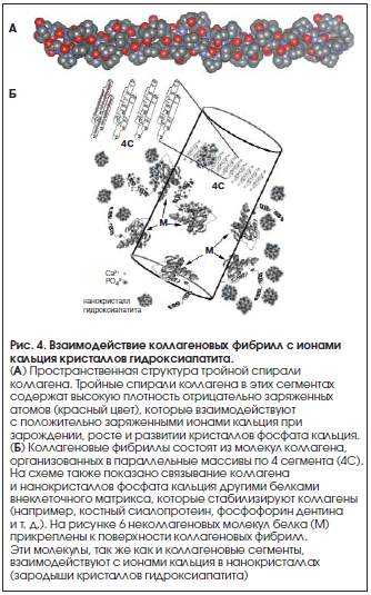 Рис. 4. Взаимодействие коллагеновых фибрилл с ионами кальция кристаллов гидроксиапатита.